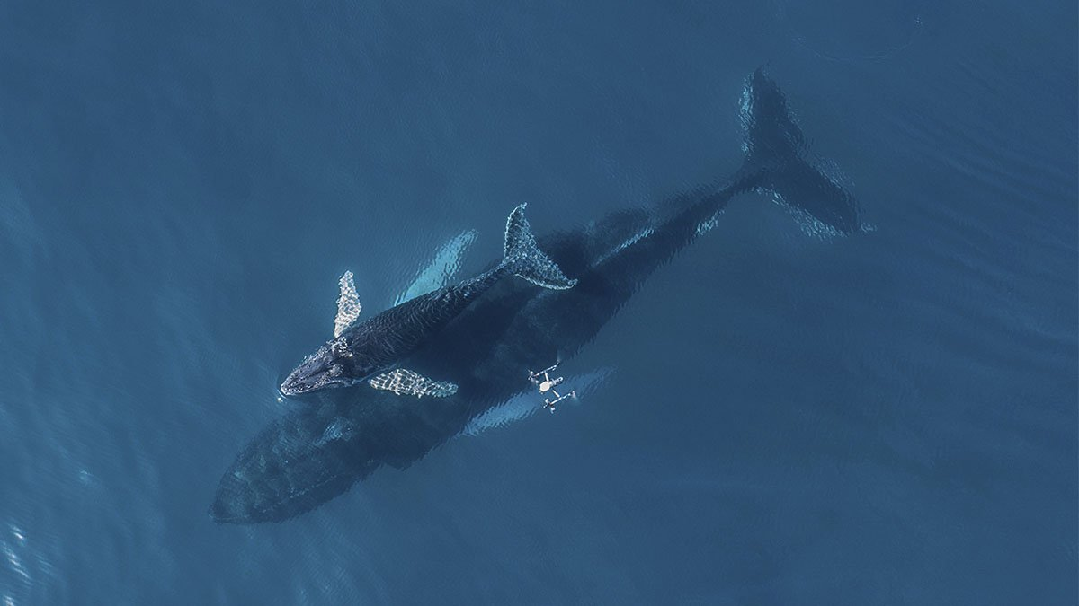 '.CHASING THE SNOT OF THE WHALES OF SAMANÁ.'