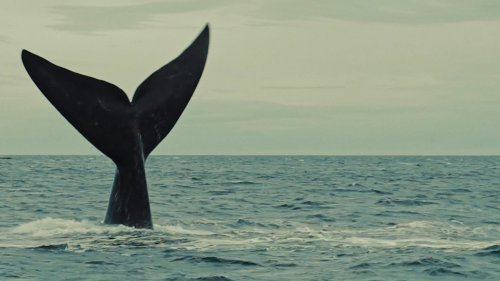 THE SOUTHERN RIGHT WHALE